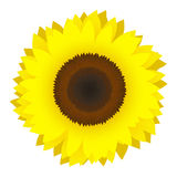 Vector sunflower. Round and yellow vivid  sunflower Royalty Free Stock Photography