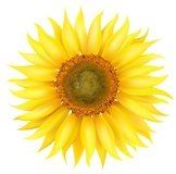 Vector Sunflower Stock Images