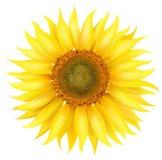 Vector Sunflower. Beautiful photorealistic illustration, detailed elaboration Stock Images