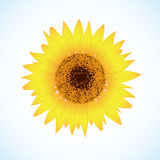 Vector sunflower. On blue background Royalty Free Stock Photos