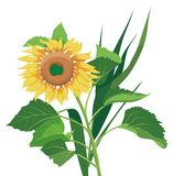 Vector Sunflower. Sunflower, with green leaves and other plants, vector illustration Royalty Free Stock Photos