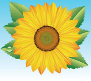 Vector sunflower. Vector editable sunflower with drop of water on one of its leaves Royalty Free Stock Photography