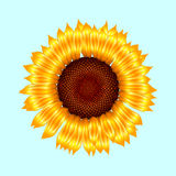 Vector sunflower Stock Photography