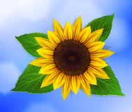 Vector sunflower with leaves Stock Photography