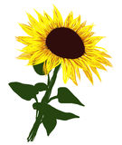 Vector of Sunflower. On white background Stock Images