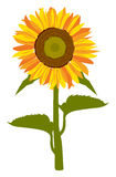 Vector of Sunflower Stock Photography