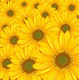 Vector sunflowers background. The yellow  sunflowers background Stock Images