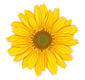 Vector sunflowers on a white background Royalty Free Stock Photos
