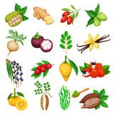 Vector superfood icons set. Healthy detox natural product of camu camu, garcinia cambogia and maca. Carob, ginger, moringa, lucuma, coji berries, mangosteen stock illustration