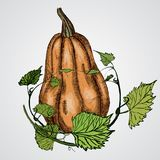 Vector tasty and healthy vegetable pumpkin Royalty Free Stock Images