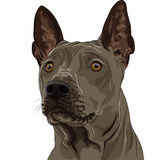 Vector Thai Ridgeback Dog breed closeup Stock Image