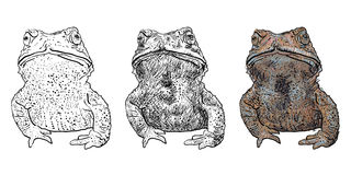 Vector of toad isolate on white background Royalty Free Stock Photography