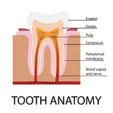 Vector tooth anatomy Royalty Free Stock Image