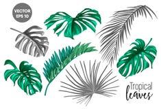 Vector tropical leaf monstera palm monochrome set. Vector tropical leaves summer set. isolated white background monochrome illustration. Jungle forest palm