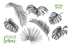 Vector tropical leaves monstera palm set. Vector tropical leaves summer set. isolated white background illustration. Jungle forest palm monstera floral exotic