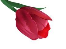 Vector tulip Stock Photography