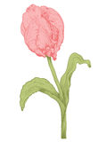 Vector tulip flower. Vector pink tulip flower in vintage engraving style Royalty Free Stock Photo