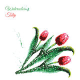 Vector tulip watercolor. Hand drawing Stock Photo