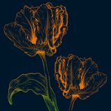 Vector tulips. Vector tulips in vintage engraving style on dark blue background Royalty Free Stock Image