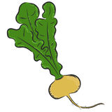 Vector turnip hand drawn Royalty Free Stock Image