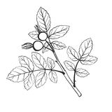 Vector twig with leaves. Vector twig of brier with leaves, isolated hand drawn nature element, spring branch, hand drawn illustration Stock Images
