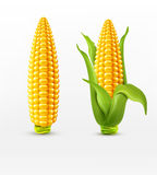 Vector two corn. corn on the cob with leaves. design element Royalty Free Stock Photography
