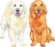 Vector two dog breed Golden Retriever. Portrait of a smiling yellow gun dog breed Golden Retriever Stock Photos