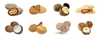 Vector vastgestelde pictogrammennoten Okkernoot, kokosnoot, notemuskaat, hazelnoot, pecannoot, amandel, pinda, macadamia Voeding  vector illustratie