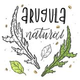Vector vegetables aruqula grass in a realistic sketch style. Healthy food, natural product, vegetable farm, vegan food, sports nut vector illustration