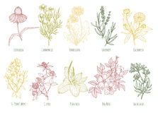 Vector vintage set of ten colored medicinal herbs. Including echinacea, chamomile, lavender, calendula, clover, dandelion, st john`s wort, plantain, dog rose Royalty Free Stock Photo