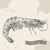 Vector vintage shrimp drawing. Hand drawn. Monochrome seafood illustration. Great for menu, poster or label Royalty Free Stock Image