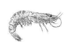 Vector vintage shrimp drawing. Hand drawn. Monochrome seafood illustration. Great for menu, poster or label Royalty Free Stock Photos