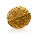 Vector walnut fruit isolated Stock Photography