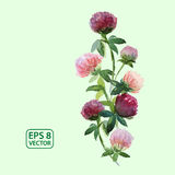 Vector Watercolor Clover Flowers. On green background Royalty Free Stock Images