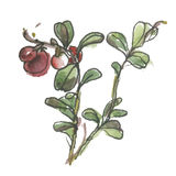 Vector watercolor cowberry. Illustration isolated. On white background Stock Image