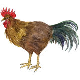 Vector watercolor drawing cock Stock Photography