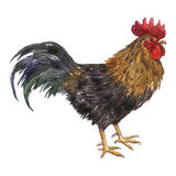 Vector watercolor drawing cock Royalty Free Stock Photography