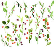 Vector watercolor green branches with berries Royalty Free Stock Photo