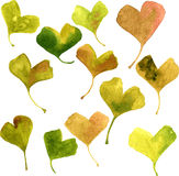 Vector watercolor green leaves of ginkgo Stock Image