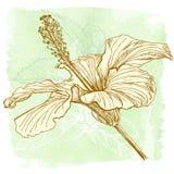 Vector watercolor Hibiscus Stock Images