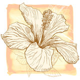 Vector watercolor Hibiscus Royalty Free Stock Photo