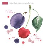 Vector watercolor image cherrie and plu  with splashes. Cherrie and plum illustration with watercolor splashes,  image Royalty Free Stock Photos