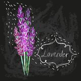 Vector watercolor lavender delicate bunch Stock Images