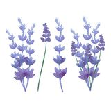 Vector watercolor lavender delicate bunch Stock Image