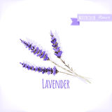 Vector watercolor lavender. Stock Images