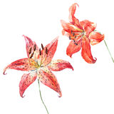 Vector watercolor lilies Royalty Free Stock Image