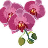 Vector Watercolor Orchid flowers Royalty Free Stock Photos