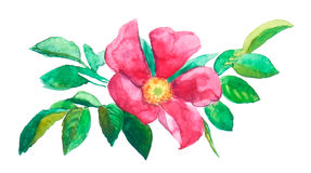 Vector watercolor painting trace. Red brier flower Royalty Free Stock Photography