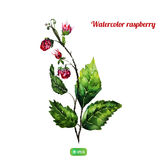 Vector watercolor raspbery bush with natural green Royalty Free Stock Image