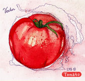 Vector watercolor red tomato Stock Photography